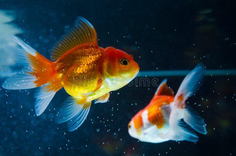 Goldfish natury piękna ryba przeciw ciemnemu tłu zdjęcie royalty free