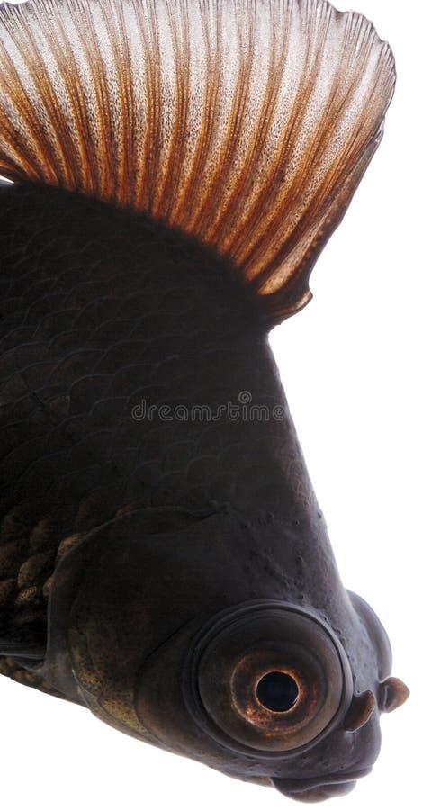 Goldfish nero fotografie stock libere da diritti