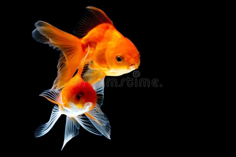 Goldfish fotos de stock