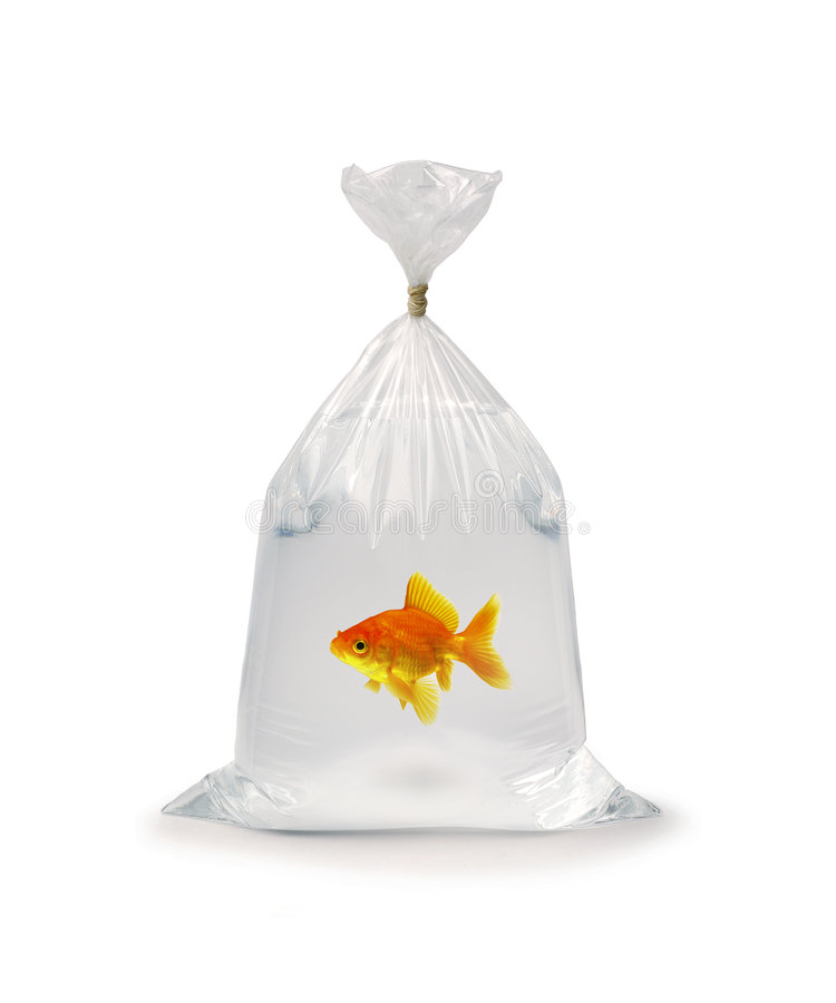 Goldfish In Plastic Bag. Goldfish in a plastic bag on a white background stock photo