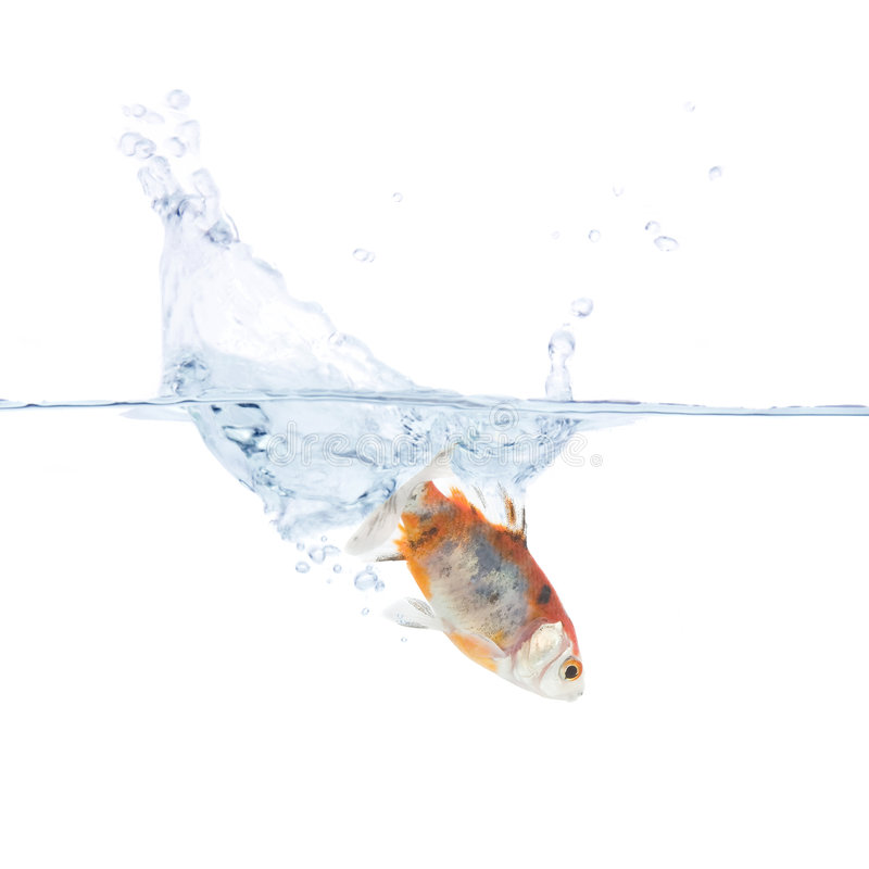 Goldfish Plunging Into The Water Stock Image