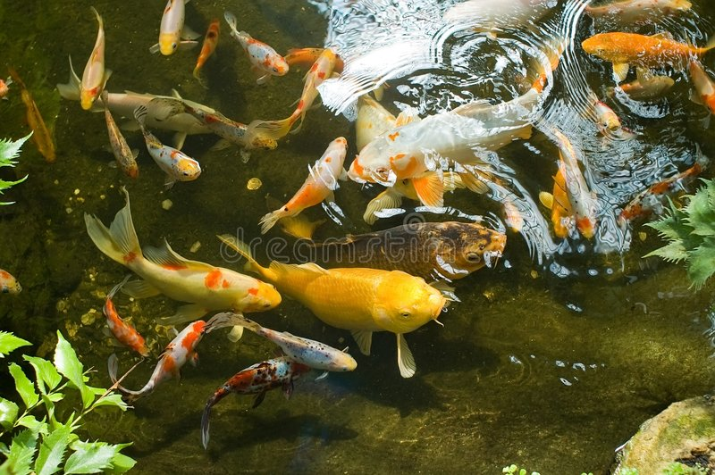 Download Goldfish in pond stock photo. Image of swimming, water - 5223984