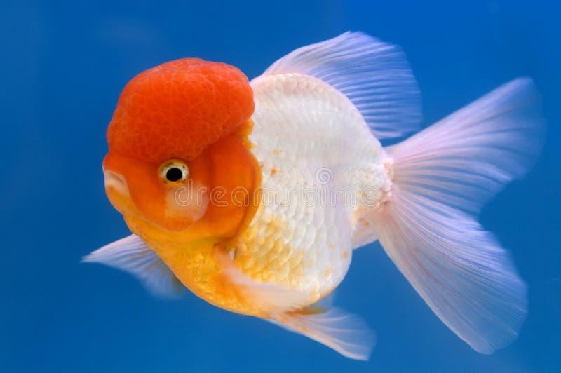 Goldfish principal de Oranda del león imagen de archivo libre de regalías