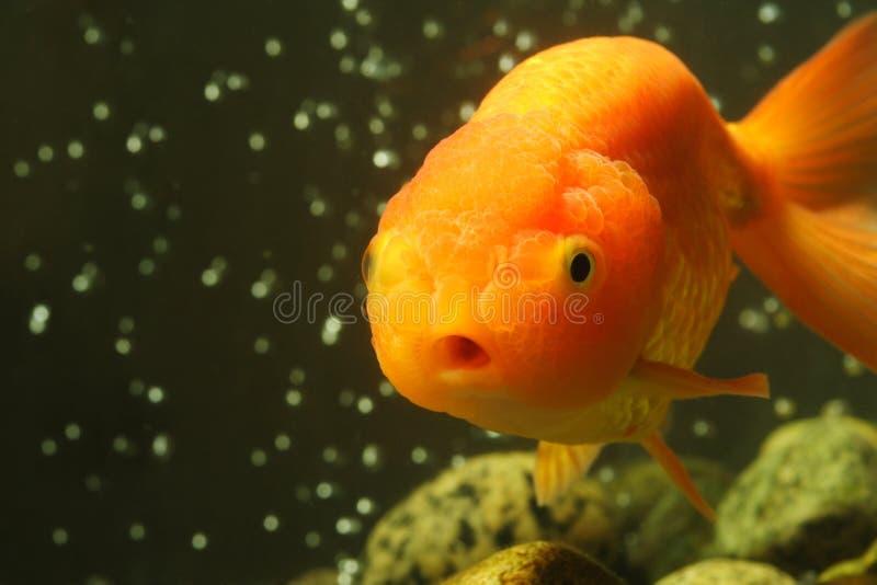 Goldfish principal do leão imagem de stock