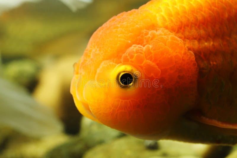 Goldfish principal do leão fotografia de stock royalty free