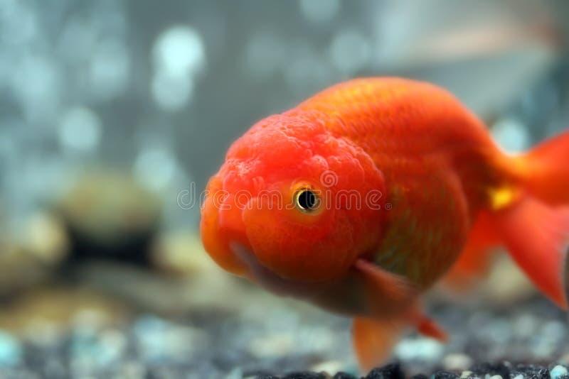 Goldfish principal do leão imagens de stock