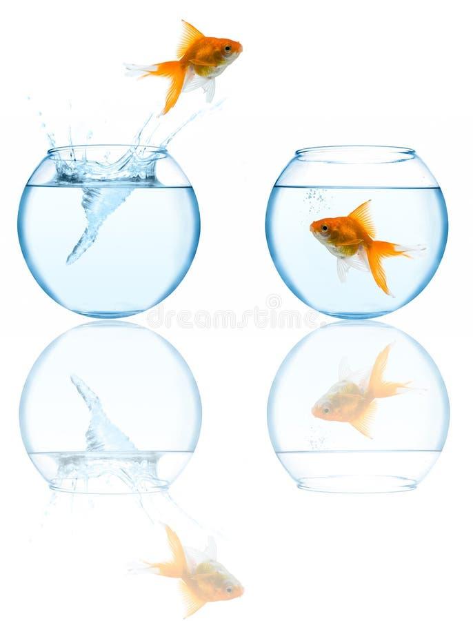 Goldfish que salta en acuario imagen de archivo