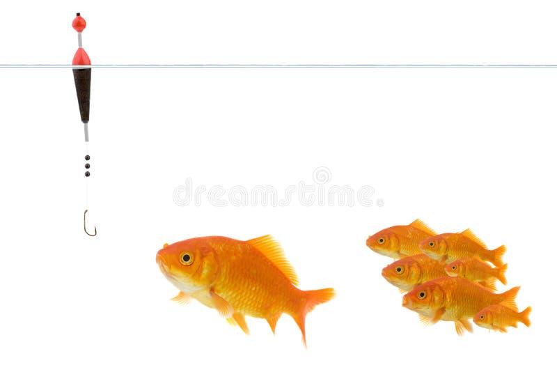 Goldfish que toma el cebo fotos de archivo libres de regalías
