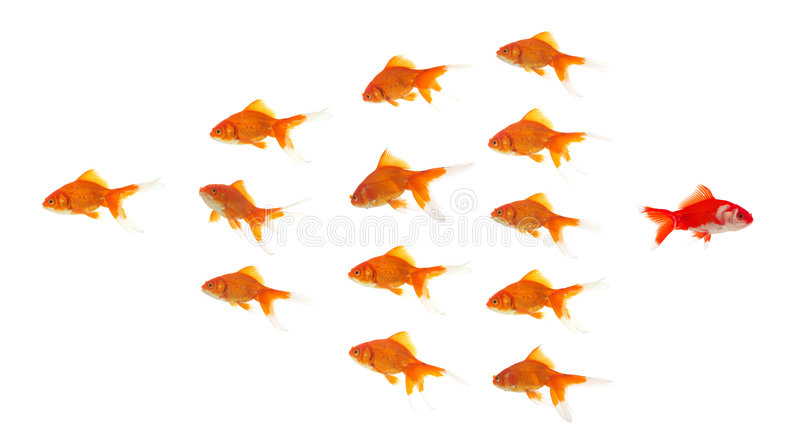 Goldfish rojo que sale del grupo imagenes de archivo