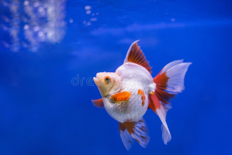 Goldfish Ryukin. White & red color royalty free stock image