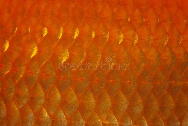 Download Goldfish Scale stock photo. Image of gold, animal, macro - 29087872