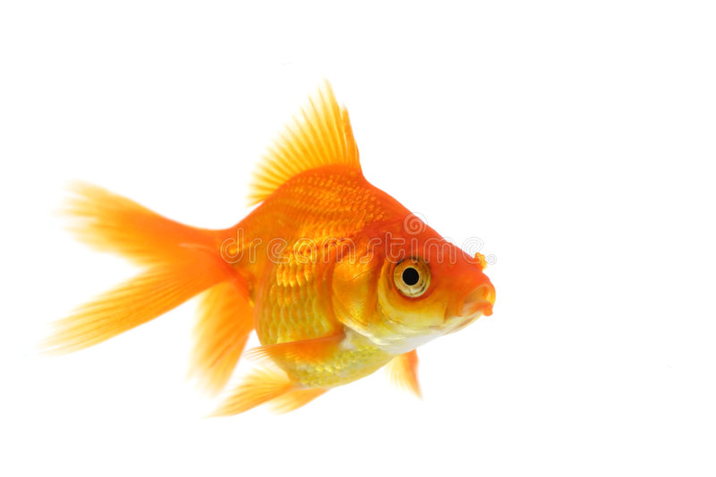 Goldfish simple images stock