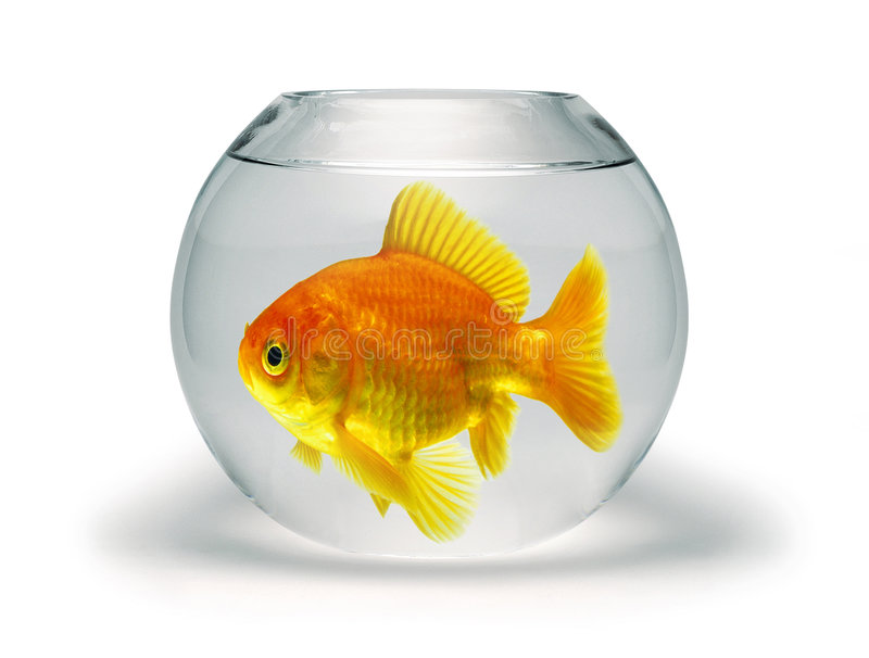 Goldfish in Small Bowl. Goldfish in a small goldfish bowl on a white background stock image