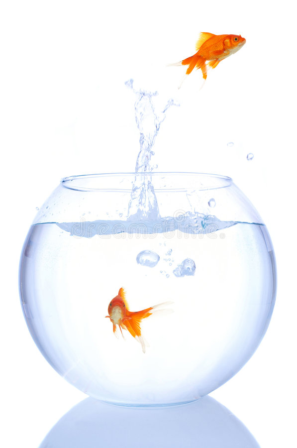 Download Goldfish splash stock image. Image of animal, vacation - 1798869