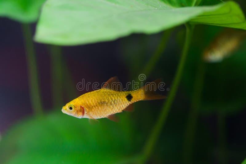 Goldfish sucks a rocks. In the aquarium stock photos