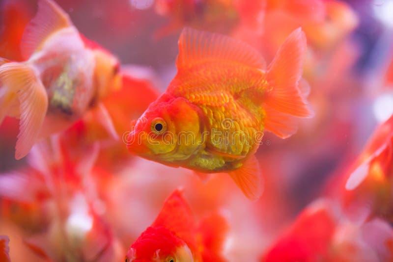 Goldfish sucks a rocks. In the aquarium stock images