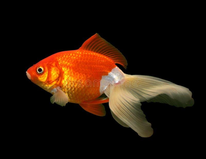 Goldfish sul nero fotografie stock