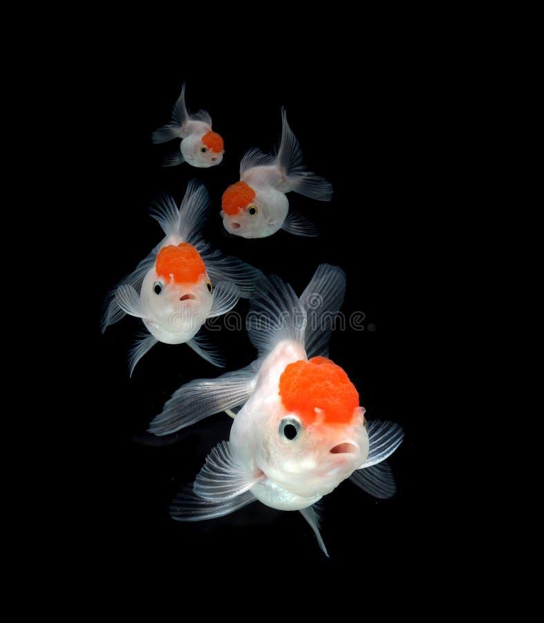 Goldfish sur le fond noir images stock