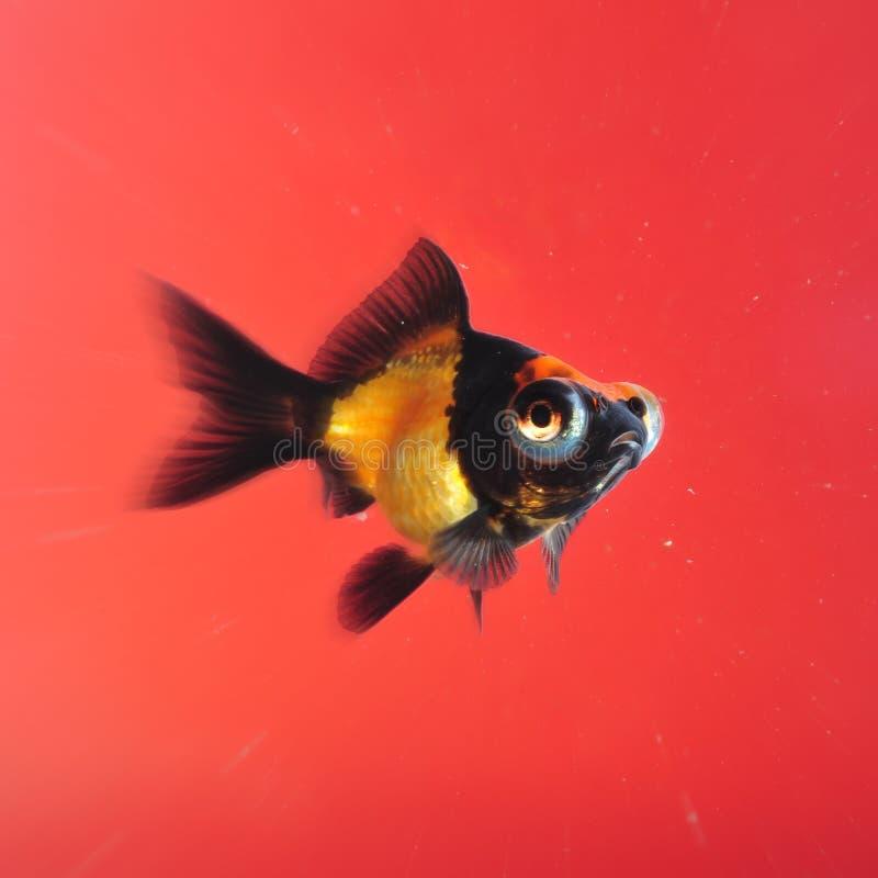 Goldfish sur le fond rouge photographie stock libre de droits