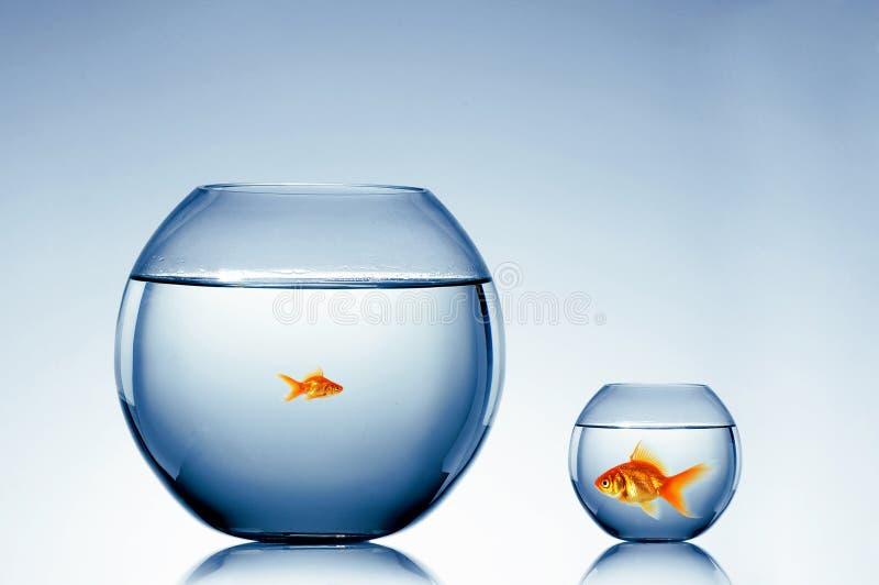 Goldfish swim royalty free stock photo