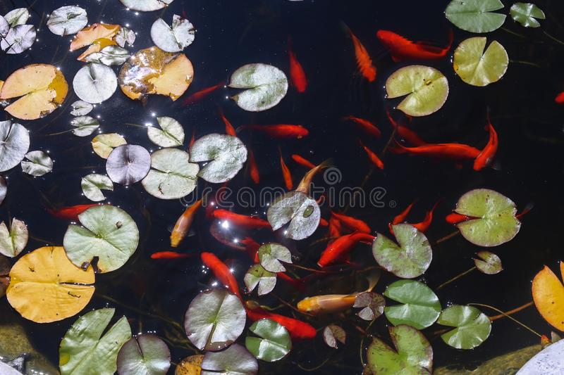 Goldfish swim in a small pond in the garden royalty free stock photography