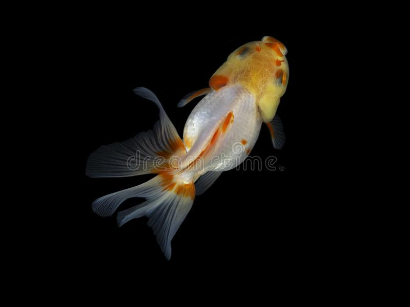 Goldfish swimming on a dark background isolate royalty free stock photography