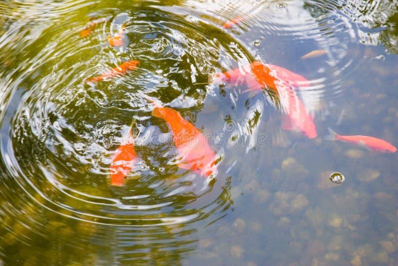 Goldfish-Teich stockbilder