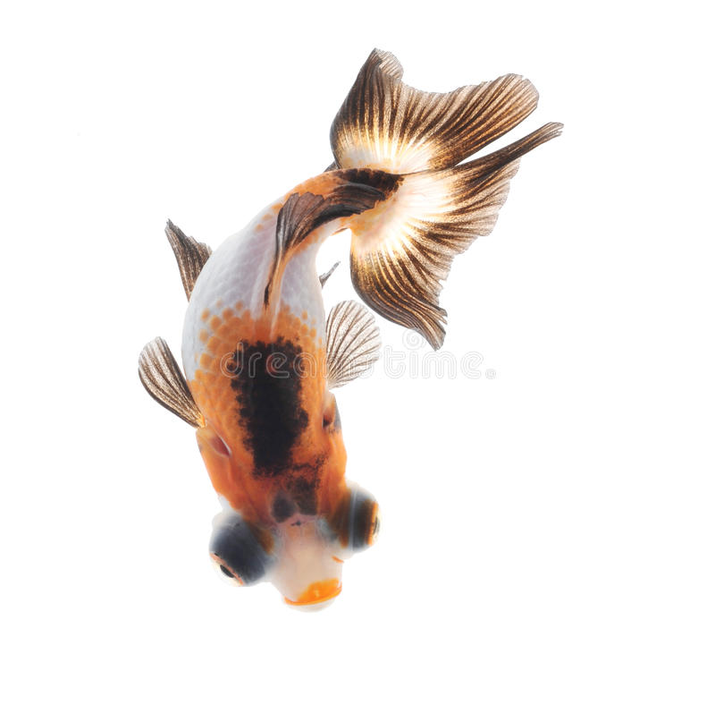 Goldfish top view isolated on white background stock image
