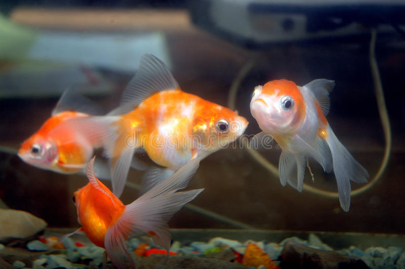 Download Goldfish stock photo. Image of bowl, beautiful, life - 33029724