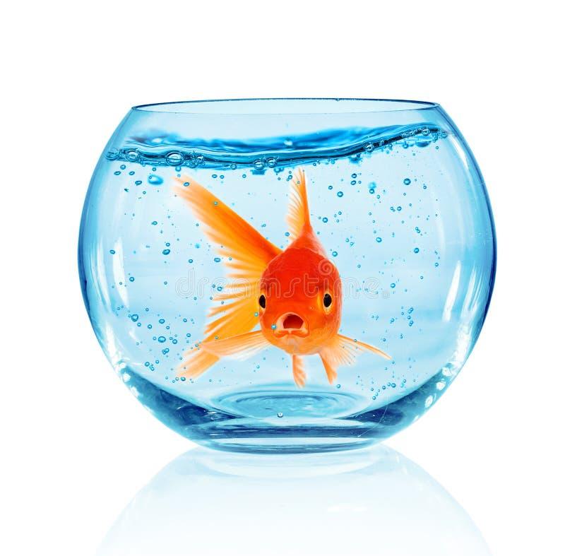 Goldfish w akwarium fotografia stock