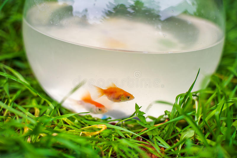 Goldfish w fishbowl obrazy royalty free