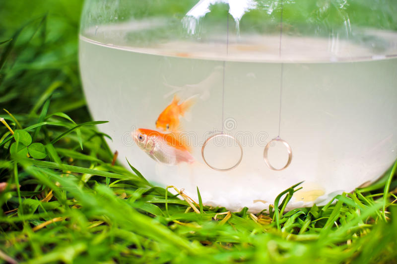 Goldfish w fishbowl fotografia royalty free