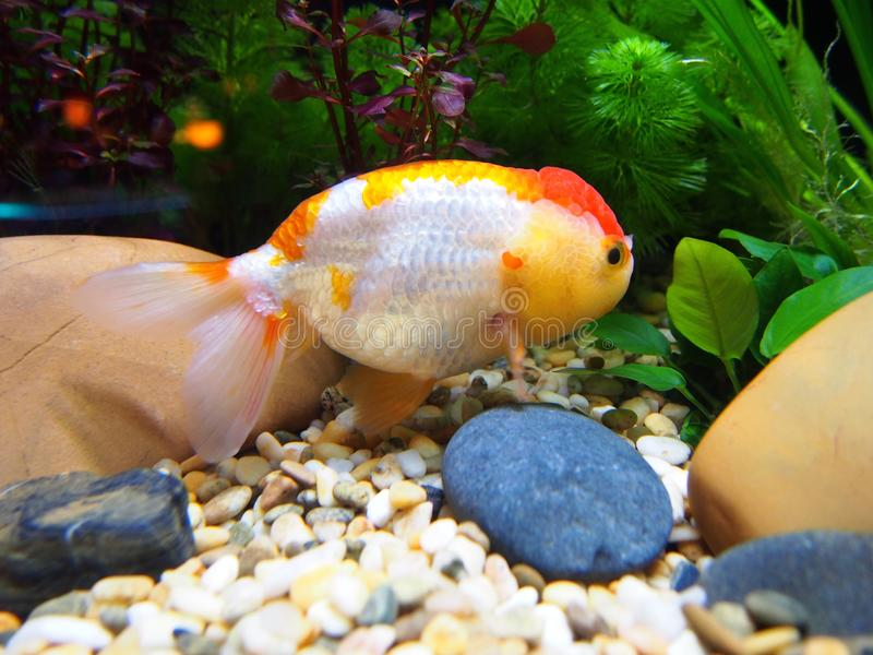 Goldfish in water tank. In Ocean Park in Hong Kong royalty free stock photography