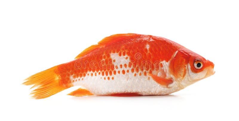 Goldfish on white background stock photo