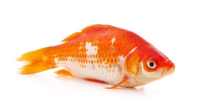 Goldfish on white background stock photography