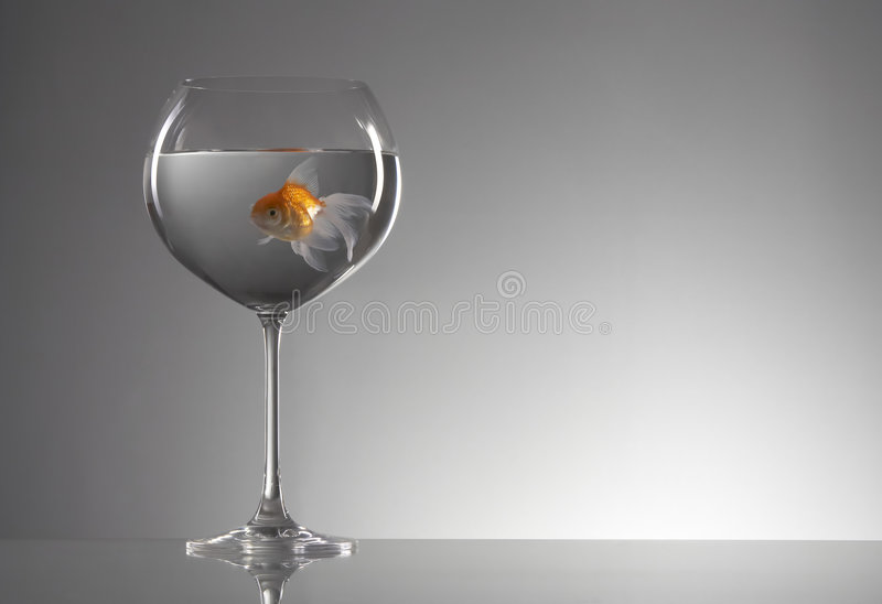 Goldfish in wineglass stock images