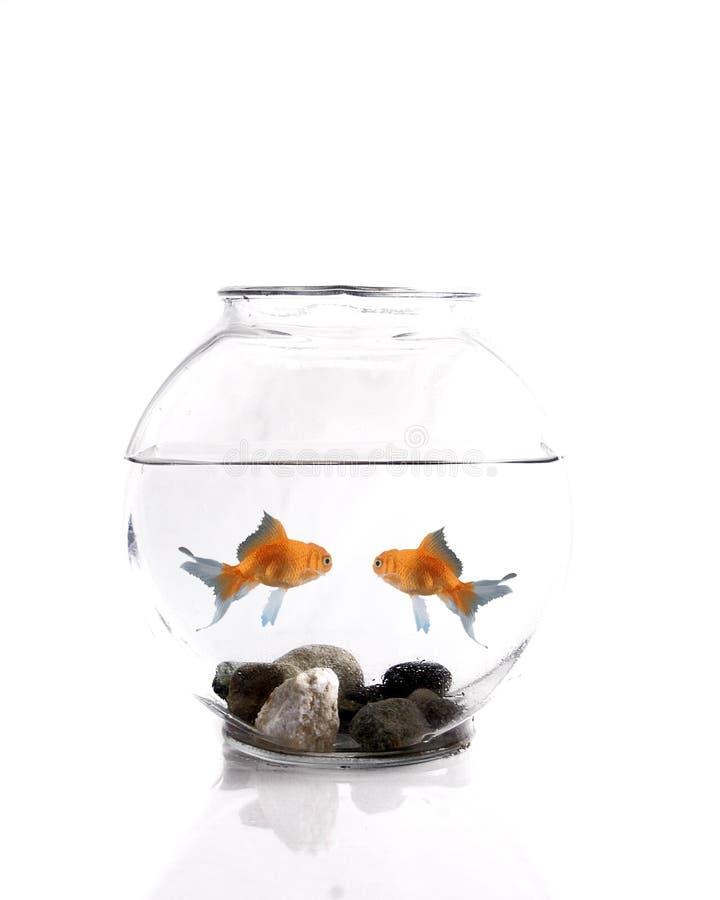 Goldfish zwei stockfotografie