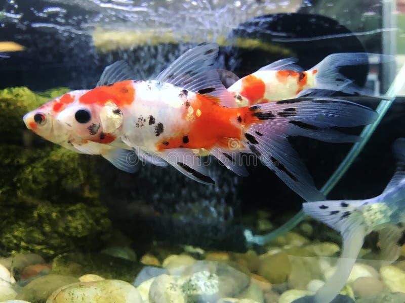 Goldfish zwemmen stock foto's