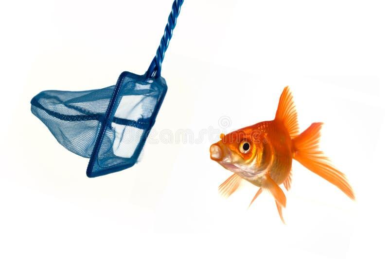 Goldfishentweichen lizenzfreie stockbilder