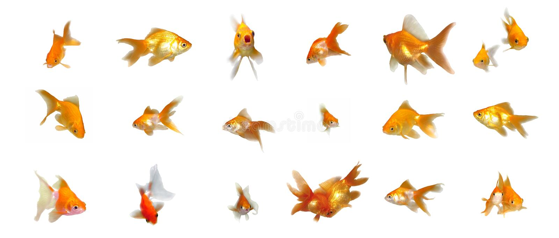 goldfishes που τίθενται φιλικά στοκ φωτογραφίες με δικαίωμα ελεύθερης χρήσης