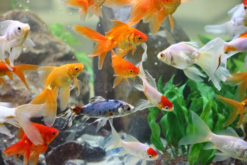 goldfishes stock afbeelding