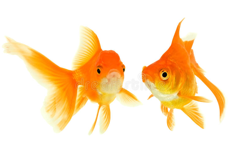 goldfishes στοκ εικόνες με δικαίωμα ελεύθερης χρήσης