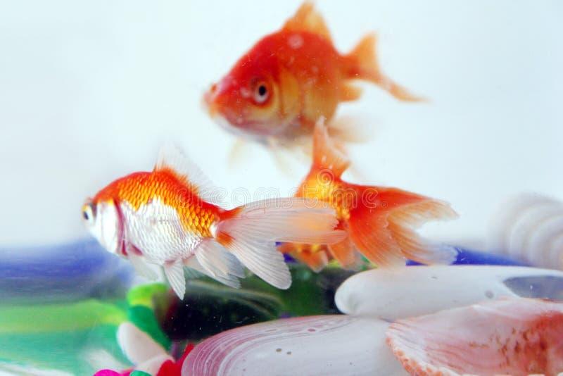Goldfishes stock photography