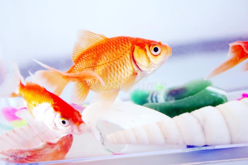 Goldfishes stock photos