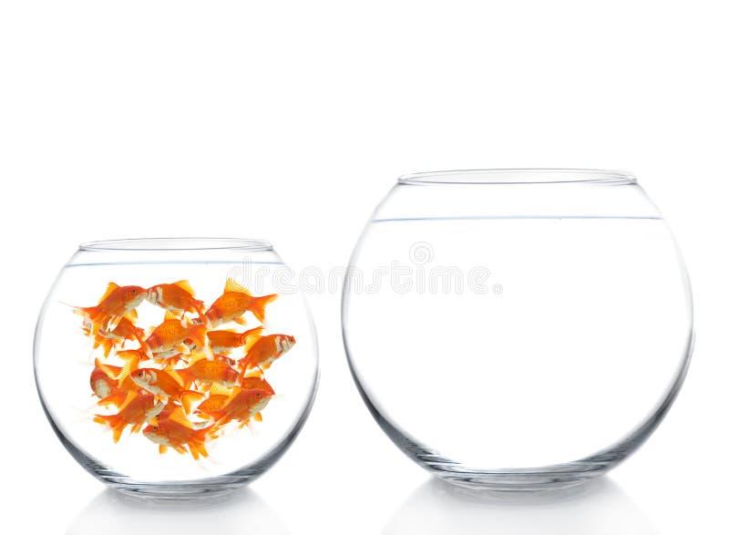 goldfishes стоковые фотографии rf