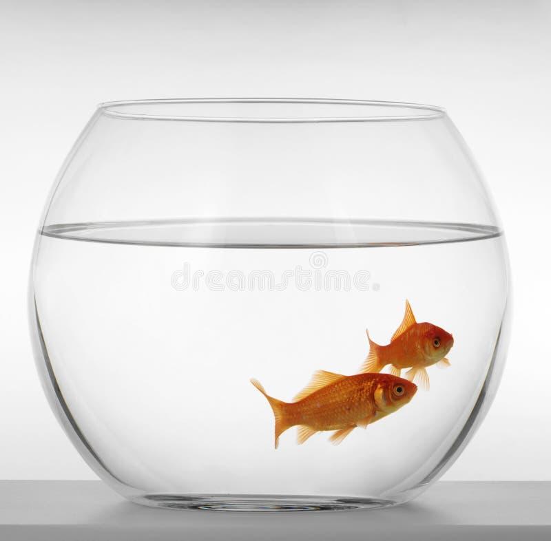 Goldfishes stock image