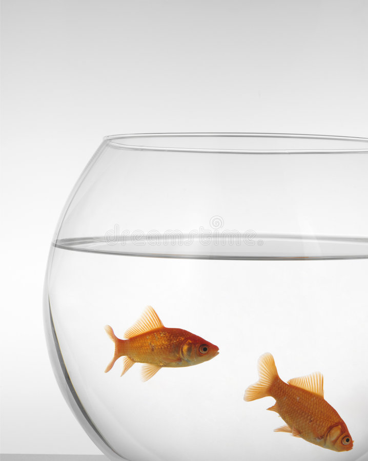Download Goldfishes stock photo. Image of common, move, full, friends - 5696734