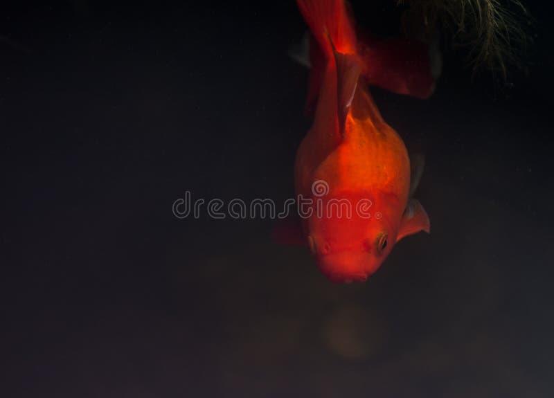 goldfishes royalty-vrije stock afbeeldingen
