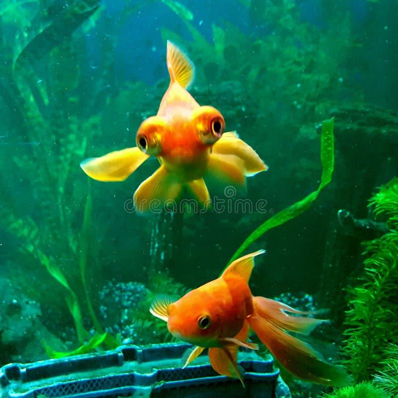goldfishes stock foto's