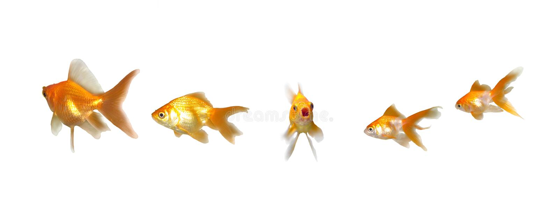 Goldfishes-Bauteil sprechen oben stockbild